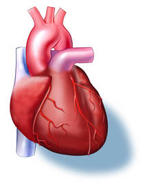 Animal heart diagram animal heart diagram photo11 ccuart Image collections